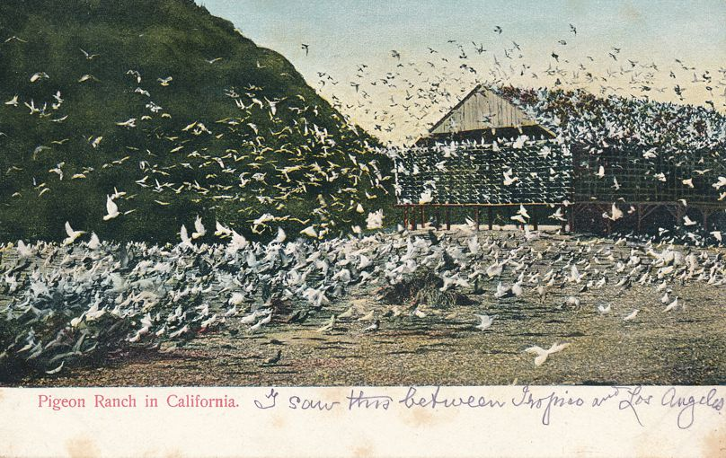 A California Pigeon Ranch - Undivided Back