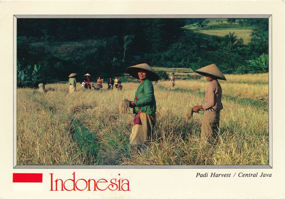 Central Java, Indonesia - Padi Harvest (Wet Rice Harvest)