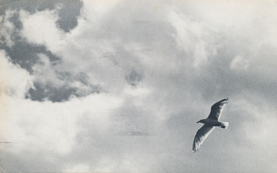 Peaceful Dove in the Sky - Bird - pm 1977 at ch