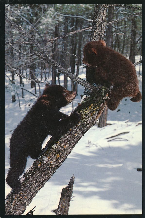 Black Bear Cubs frolic on a Forest snag - Published in Montana - pm 1999 at Missoula MT