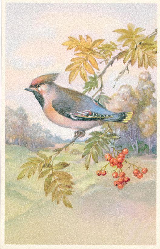 Beautiful Bird Painting - Bluebird - Blue Jay mix ? - Alfred Mainzer - White Border