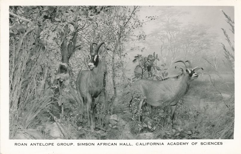 RPPC Roan Antelope Simson African Hall - California Academy of Sciences San Francisco - Real Photo