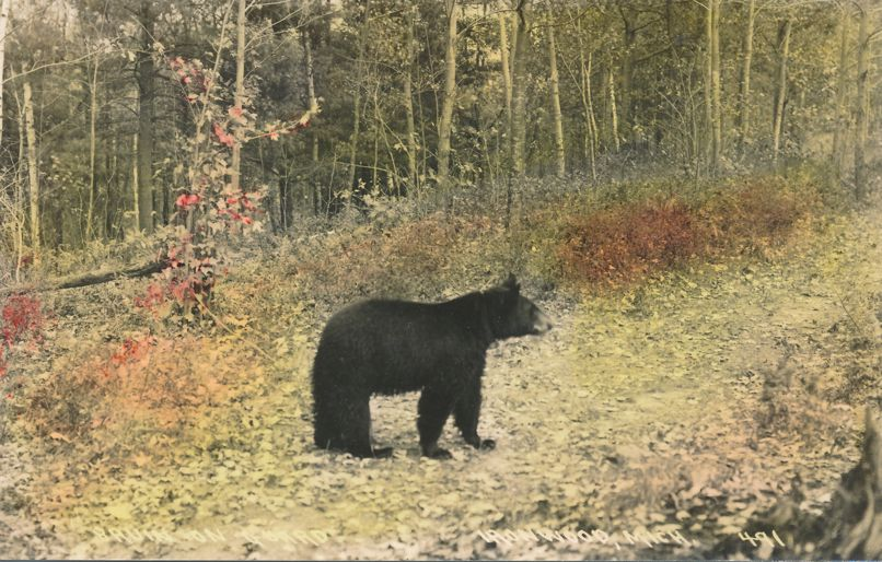 RPPC Animal Bear, Pulished in Milwaukee, Wisconsin - Hand-colored - Real Photo