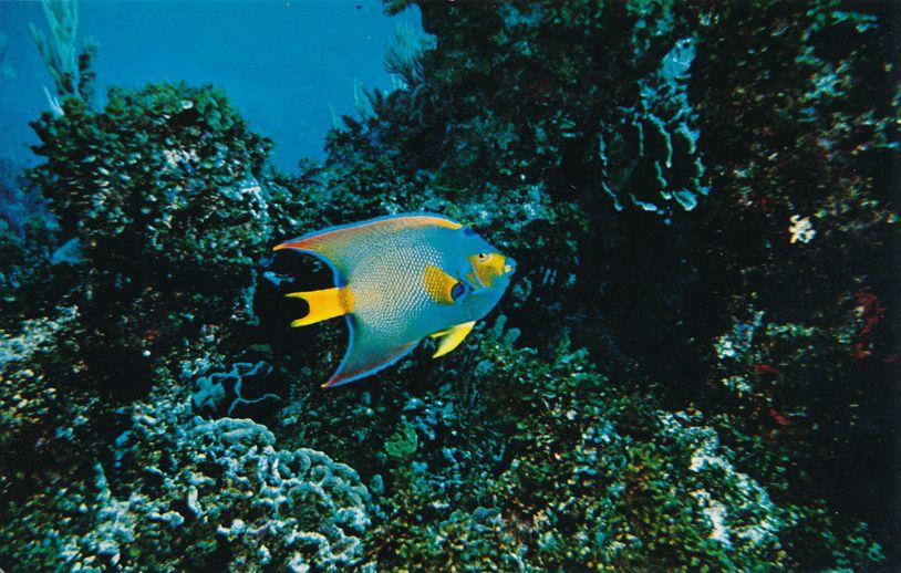 Angel Fish at Pennekamp Coral Reef Underwater State Park - Key Largo, Florida