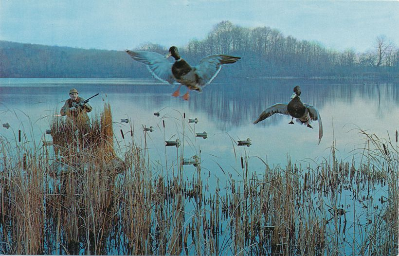 Hunter - Duck Hunting - Ducks Among The Decoys - Birds