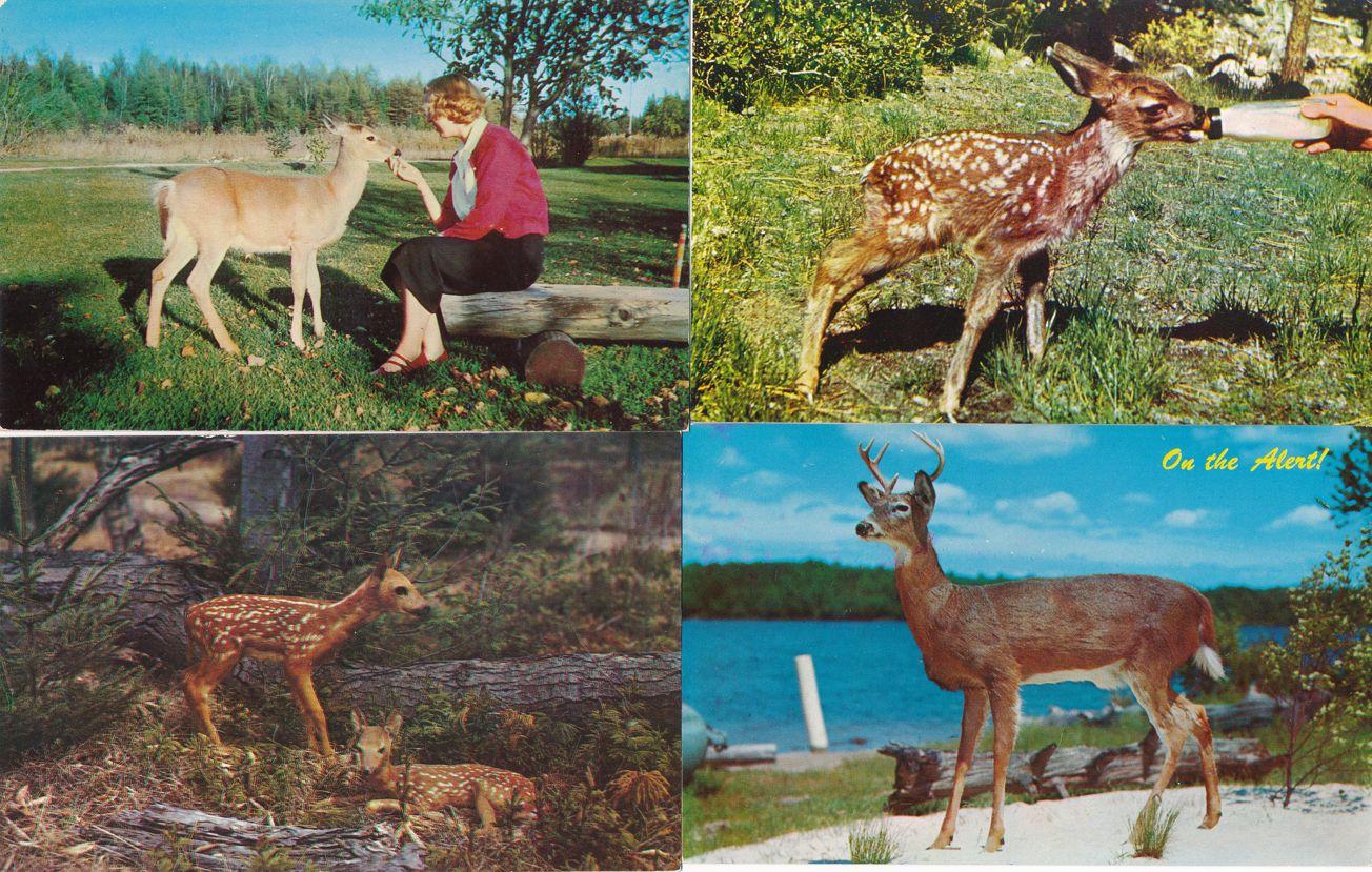 (4 cards) Feeding Deer - Fawns - On Alert - Deer - Animal