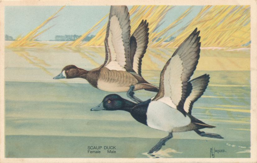 Scaup Duck Mail and Female Birds -1939 - a/s F. L. Jaques
