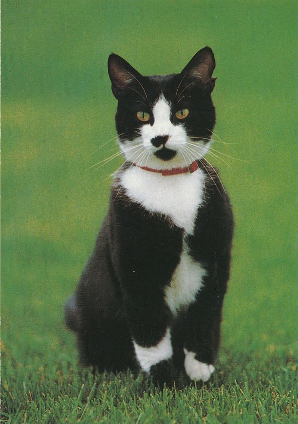 Socks - America's First Cat, Washington, DC - President Clinton's Cat - Animal