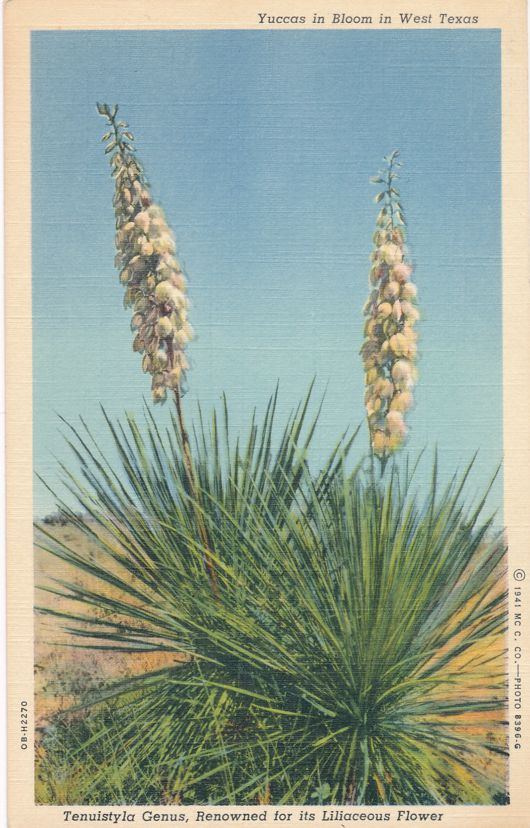 Yuccas Cactus in Bloom - Liliaceous Flower - West Texas - Linen Card