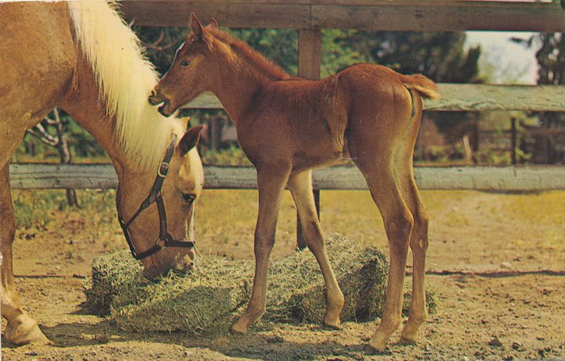 Baby Horse - Colt and Mother - Eating Hay - Animal - pm 1965 at Detroit MI