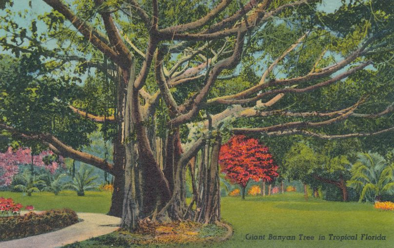 Giant Banyan Tree, Florida - Florida's Most Curious Tree - pm 1965 at Clearwater FL - Linen Card