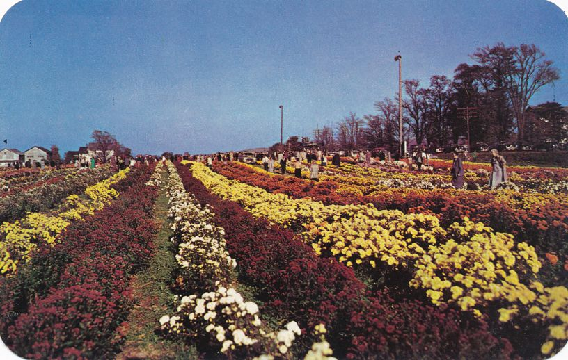 North East, Pennsylvania - Mums by Paschke - Flowers