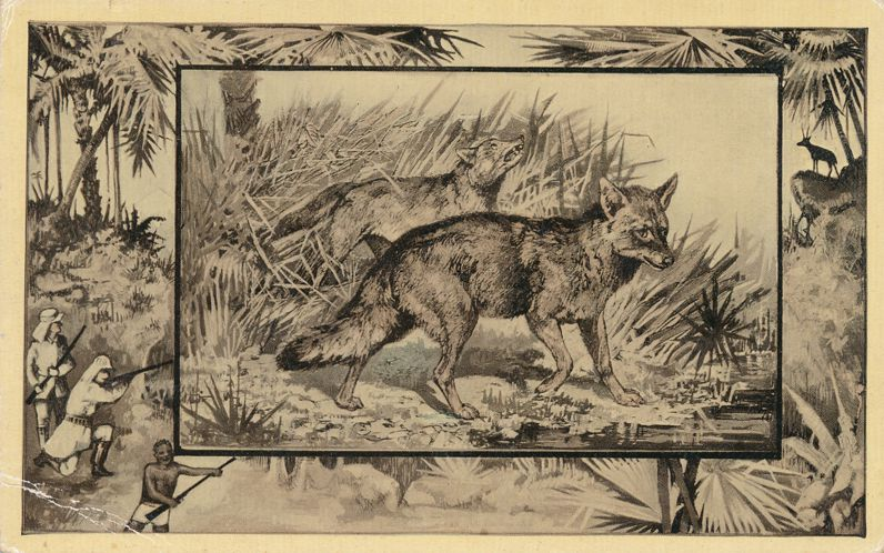 Africa Safari 1909 Series by Mintz of Chicago - Jackal - Divided Back