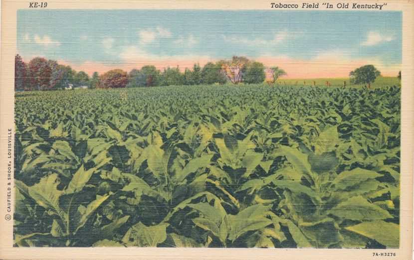 Tobacco Field in Kentucky - Linen Card