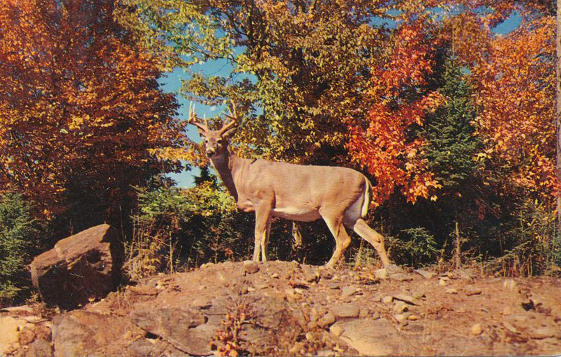 Greetings from Maine the Pine Tree State - Deer Monarch of Autumn - pm 1958 at Old Town ME
