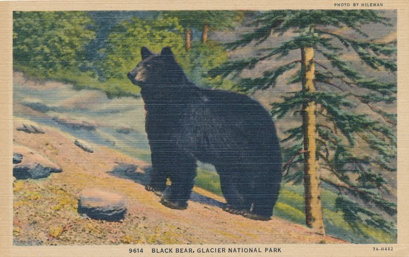 Glacier National Park, Montana - Black Bear photo by Hileman - Linen Card