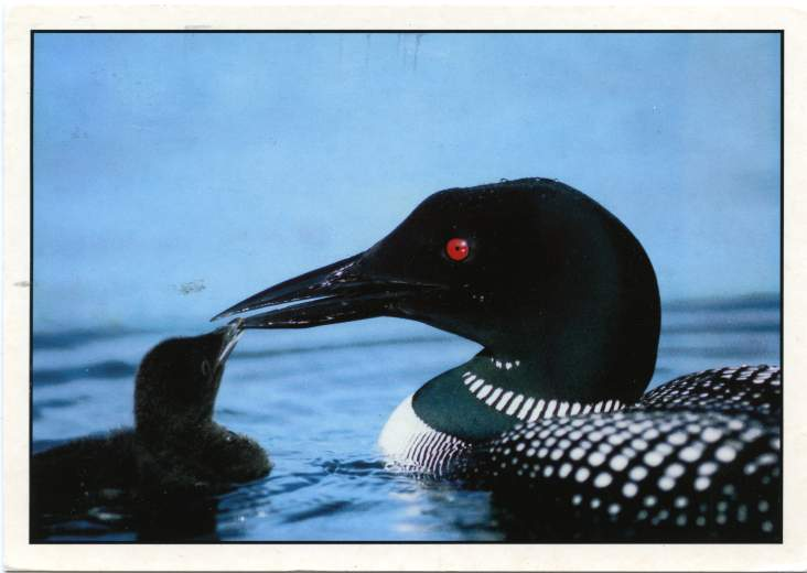 The Common Loon with a Chick - pm 1989 at Portland, Maine