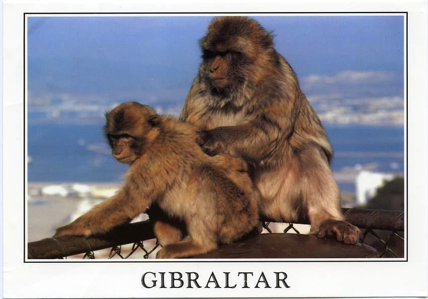 Gibraltar - Rock Apes