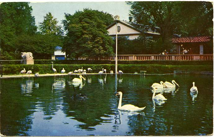 Swans, Pelicans, Flamingos - Formal Pool at Brookfield Zoo - Near Chicago, Illinois