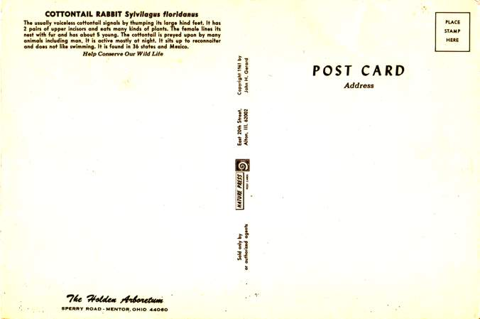 Cottontail Rabbit - Giant Post Card - Holden Arboretum, Mentor, Ohio