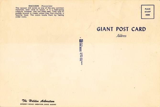 Raccoon looking for Crayfish - Giant Post Card - Holden Arboretum, Mentor, Ohio