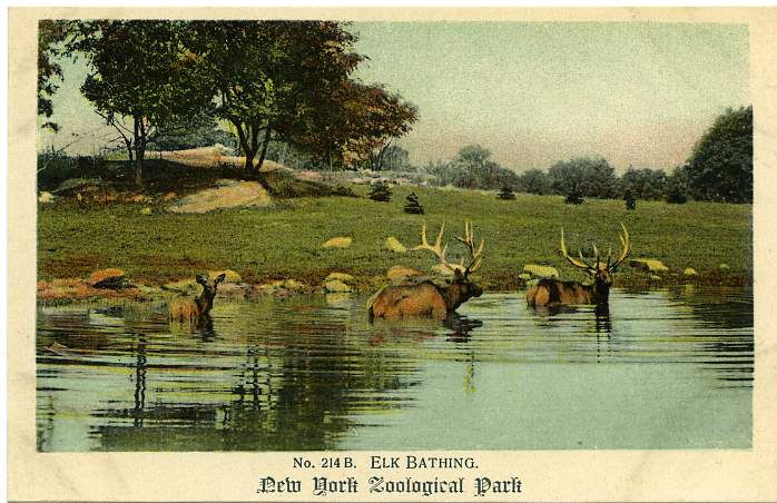 Elk Bathing - Zoological Park at New York City - Now the Bronx Zoo - Divided Back