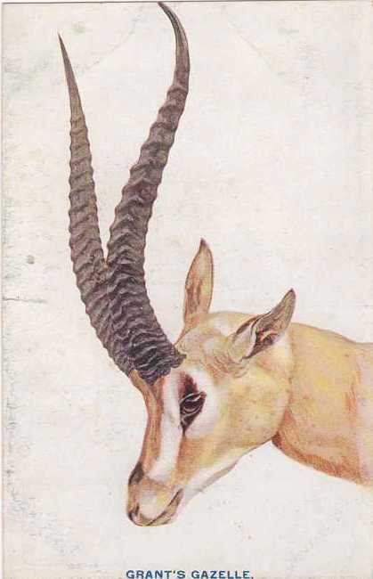 Grant's Gazelle - Roosevelt Safari to Africa - 1909 - Divided Back