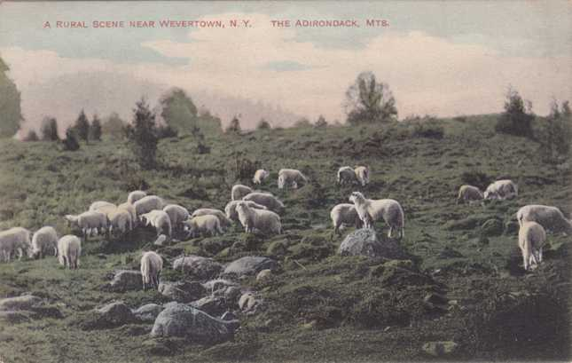 Sheep near Wevertown - Adirondack Mountains, New York - pm 1912 at Potterville - Divided Back