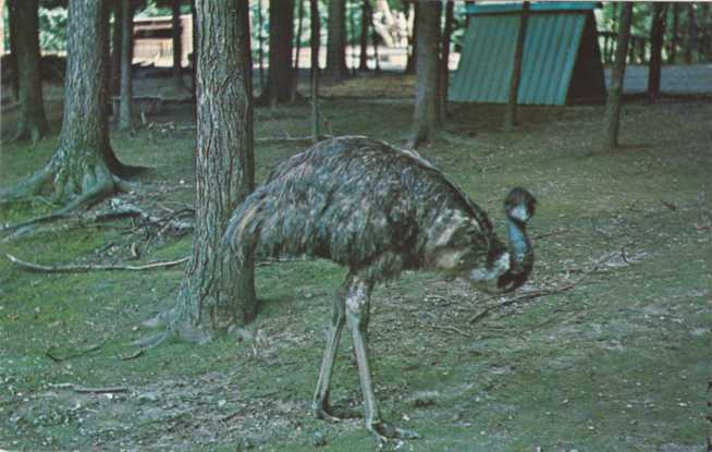 Emu not Ostritch at Gobblers Knob Deer Park - Parke County, Indiana