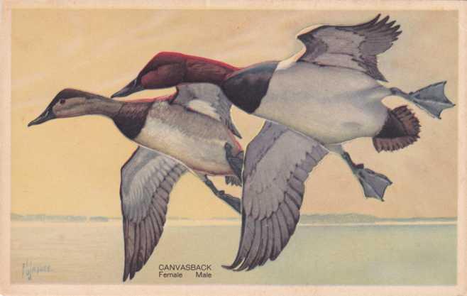 Canvasback Ducks - Wildlife Post Card Series