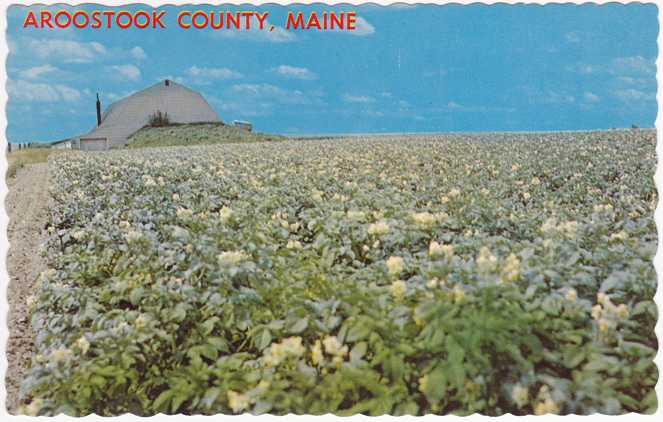 playle 39 s potato field in bloom aroostook county maine store item homerbob13935. Black Bedroom Furniture Sets. Home Design Ideas