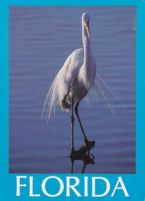 Bird - Great White Heron - Florida