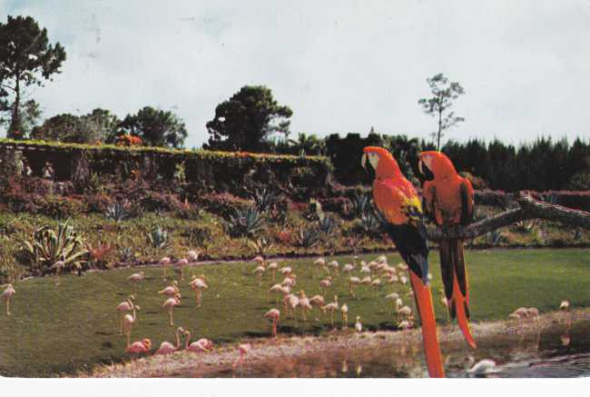 Scarlet Macaws watching Flamingos - Parrot Jungle, Florida - pm 1968