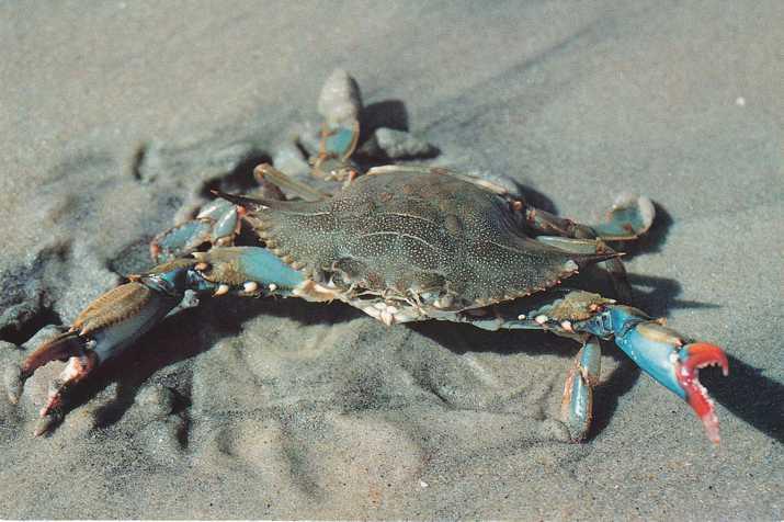 blue crab report essay