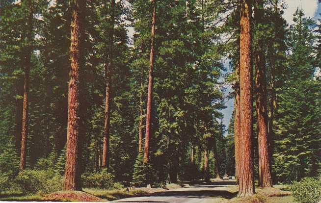 Highway through Virgin Stand of Big Timber - Western US