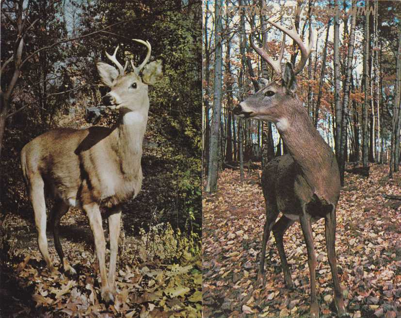 (2 cards) On the Alert - Deer - Buck - Hunting - pm 1961