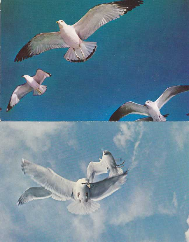 (2 cards) Seagulls - Birds - Flying and fighting over Herring