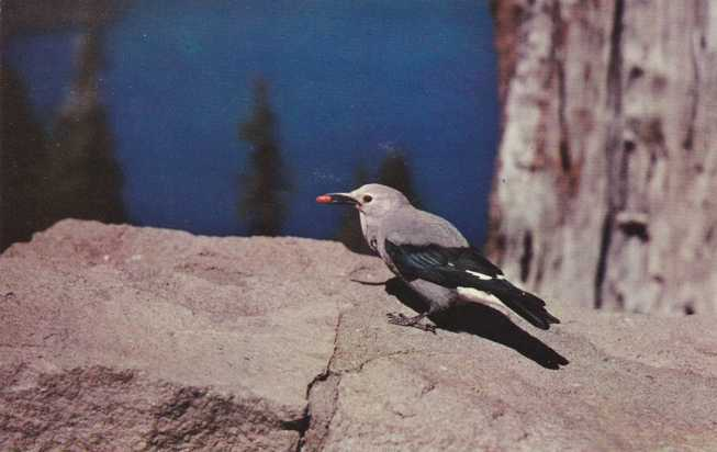 Clark's Nutcracker Bird - Crater Lake National Park, Oregon