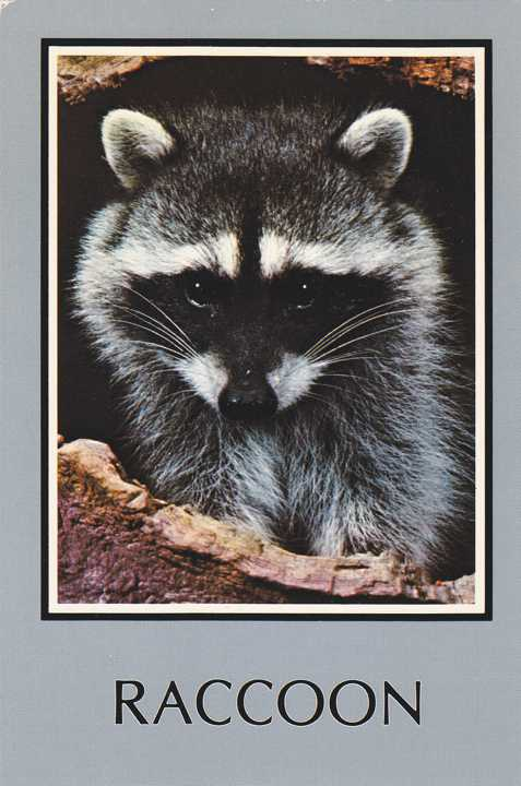 Raccoon, Sierra Nevada Mountains, California - pm 1988