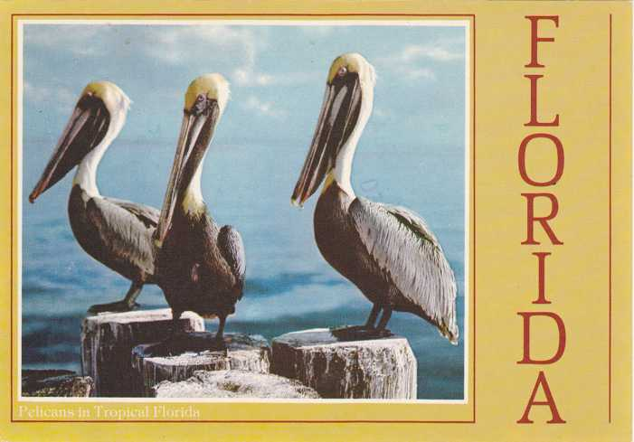 Pelicans in Tropical Florida - Bird - pm 1995 at Tampa