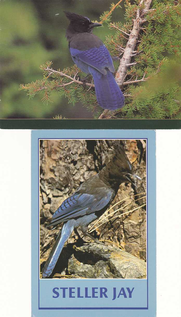 (2 cards) Steller Jay - Bird - Common in Mountains of Western U. S.