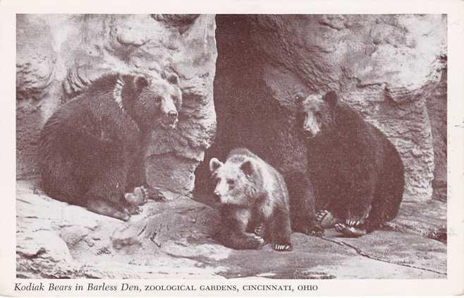 Kodiak Bears in Barless Den - Zoological Gardens, Cincinnati, Ohio