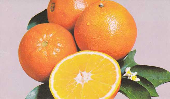 Yummy Naval Oranges, Florida