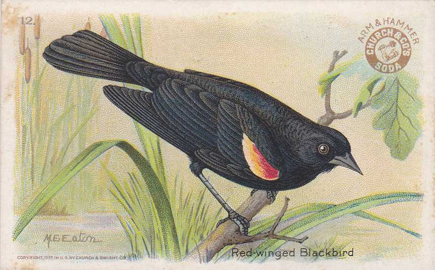 Arm & Hammer - Red-winged Blackbird - Trade Card - Useful Birds