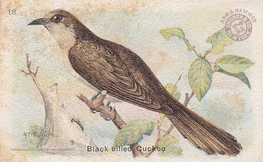 Black-billed Cuckoo - Useful Birds 1915 - Arm & Hammer Trade Card