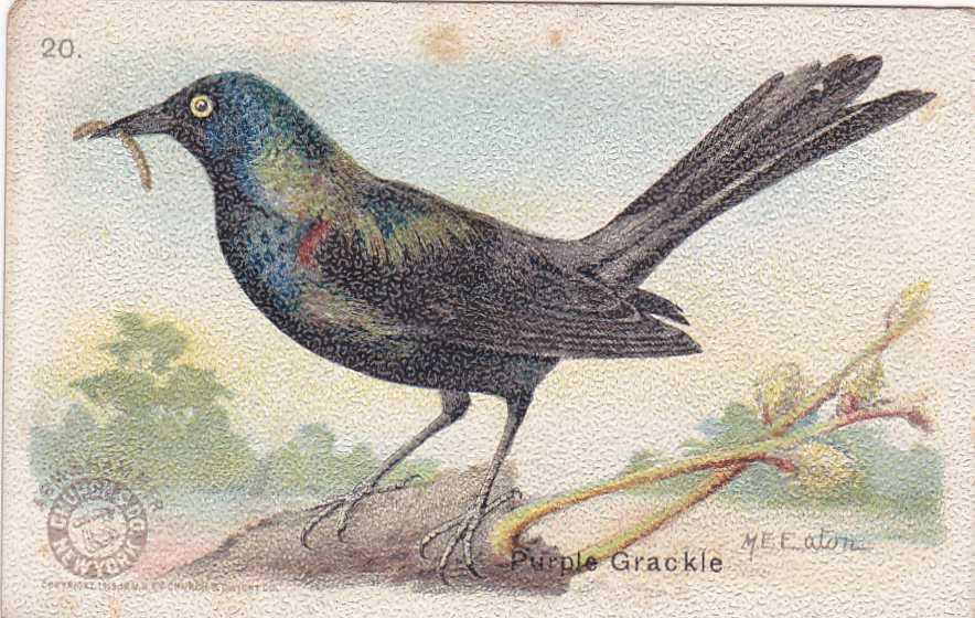 Purple Grackle - Useful Birds 1915 - Arm & Hammer Trade Card