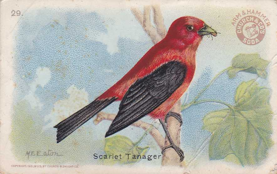 Arm & Hammer Trade Card - Scarlet Tanager - Useful Birds
