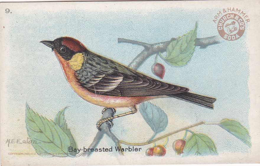 Bay-breasted Warbler - Beautiful Birds - Arm & Hammer Trade Card