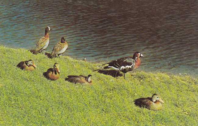 Mandarin Ducks - Flying Gardens at Sterling Forest Gardens - Tuxedo, New York
