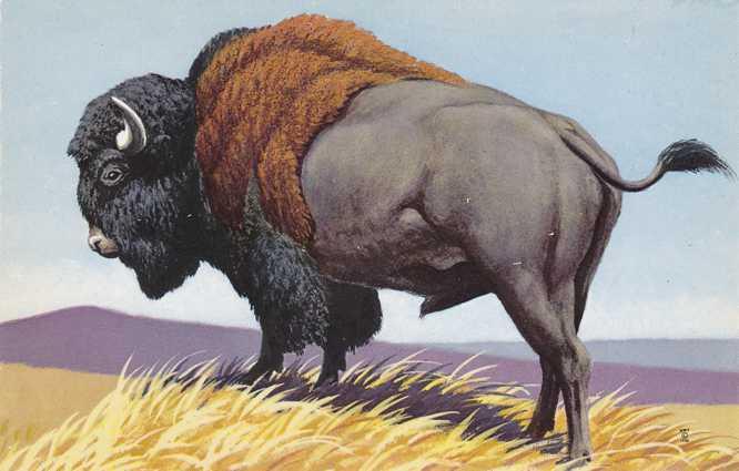 Buffalo - Bison - Artist Don R. Eckleberry - National Wildlife Federation